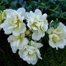 Rosa  'Sunny Rose'