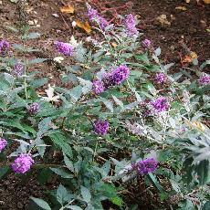 Buddleja  'Blue Chip ®'