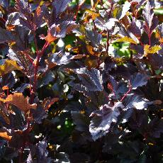 Physocarpus opulifolius  'Summer Wine ®'