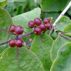 Lonicera xylosteum var mollis