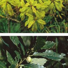 Quercus muelhenbergii
