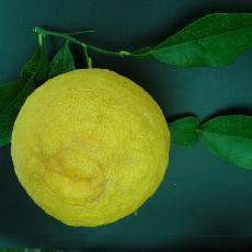 Citrus wilsonii  'Ichang lemon'