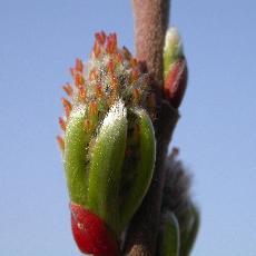 Salix rosmarinifolia 'Pendula' x viminalis