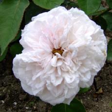Rosa  'Acidalie'