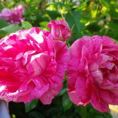 Rosa  'Commandant Beaurepaire'