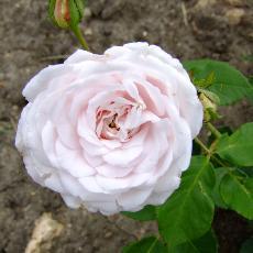 Rosa  'Marie Dermar'