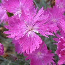 Dianthus gratianopolitanus  'Feuerexe'