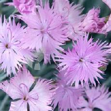Dianthus gratianopolitanus  'Rosafeder'
