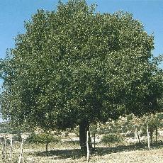 Quercus ithaburensis