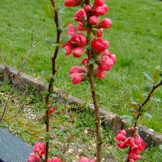 Chaenomeles speciosa  'Rubra Grandiflora'