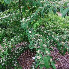 Cotoneaster x watereri  'Braendkjaer'
