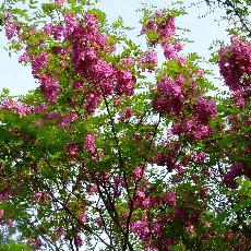 Robinia x margaretta  'Pink Cascade'