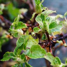 Hydrangea anomala subsp. petiolaris  'Miranda'