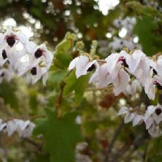 Thomasia quercifolia