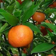 Citrus reticulata  'mandarinier'