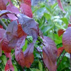 Prunus amygdalopersica  'Spring Glow'