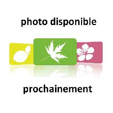 Lavandula angustifolia  'Felice'
