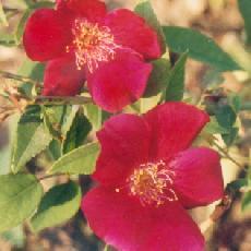 Rosa chinensis  'Sanguinea'