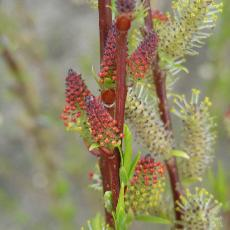Salix purpurea  'Rana'