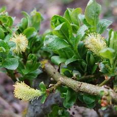 Salix schraderiana