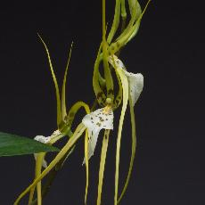 Brassia  'Edvah Loo'