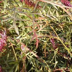 Grevillea hybride  'bronze rambler'