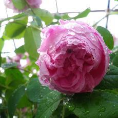 Rosa  'Cent feuilles Descemet'