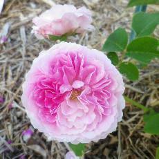 Rosa  'Geschwinds Orden'