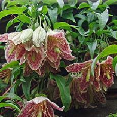 Clematis Cirrhosa  'Advent Bells'