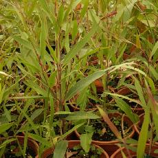 Eucalyptus paliformis