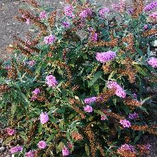 Buddleja davidii  'Buzz lavender'®'