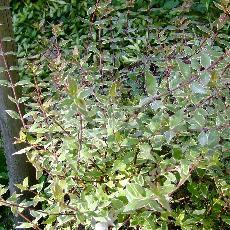 Abelia grandiflora  'Lucky Lots®'