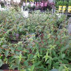 Abelia grandiflora  'Pinky bells®'