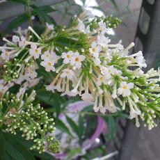 Buddleja  'Snow white'®'