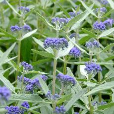 Caryopteris x clandonensis  'Empire Blue'