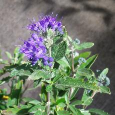 Caryopteris x clandonensis  'First Choice®'