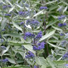 Caryopteris x clandonensis  'Sterling Silver'®'