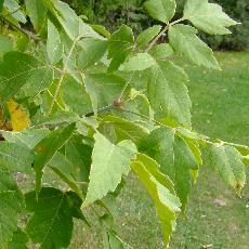Acer negundo subsp. californicum