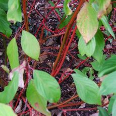Cornus alba  'Bâton Rouge'®'