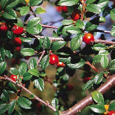 Cotoneaster buxifolius