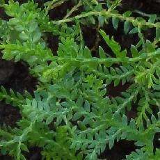 Selaginella novae-hollandiae