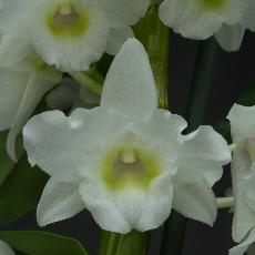 Dendrobium  'Spring Dream 'Apollon'