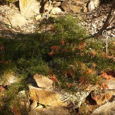 Grevillea nana subsp. nana
