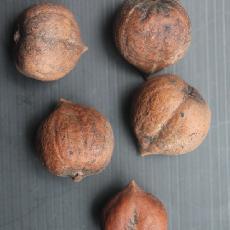 Juglans ailanthifolia var. cordiformis