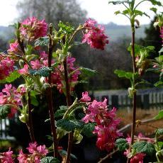 Ribes sanguineum  'Amore'®'
