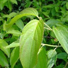 Cornus amomum