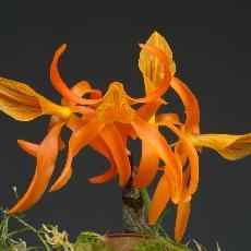 Dendrobium  'Etincelle'