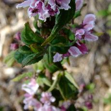 Deutzia longifolia  'DS 808'