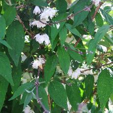 Deutzia maximowicziana