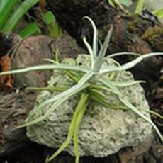 Tillandsia reichenbachii